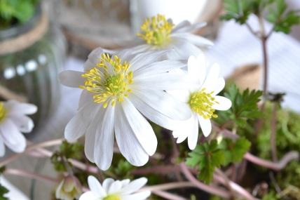 anemone-blanche