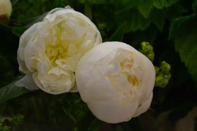 pivoine-blanche