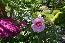 pivoine-jardin