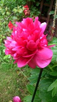 Pivoine-rose-Foncé