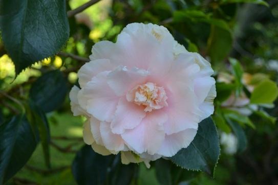 pivoine-rose-poudre