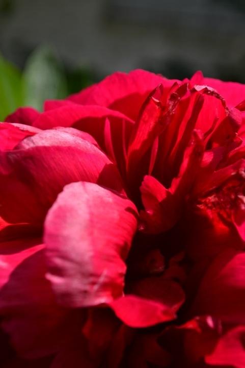 pivoine-rouge-focus