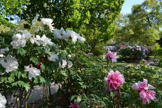 pivoines-jardin-des-plantes