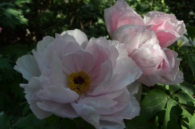 pvoine-rose-arbustive