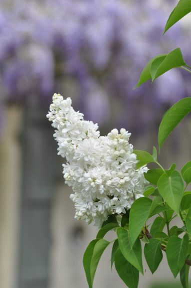 Lilas blanc sur glycine