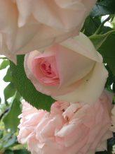 Roses Ronsard