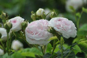 roses cuisse de nymphe émue