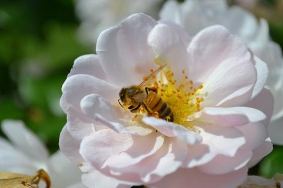 abeille-dans-rose-bagatelle