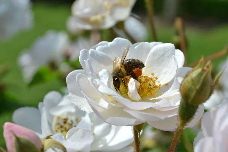 abeille sur la rosée du matin