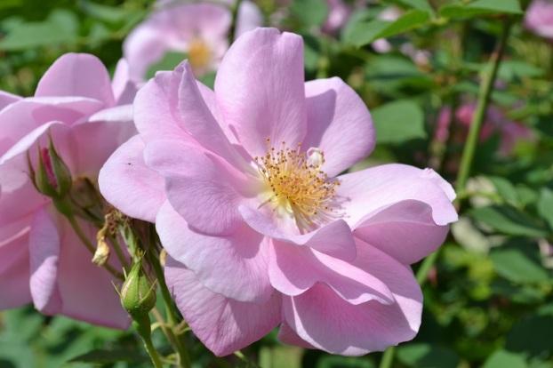 Rose Cariad
