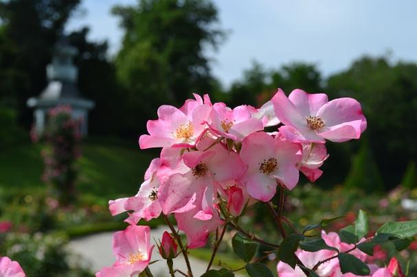 roseraie classique du parc de Bagatelle