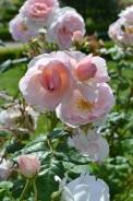 rose pour le concours de roses