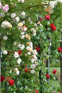 roses rouges et blaches