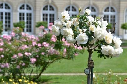 rosier de vant l'orangerie de Bagatelle