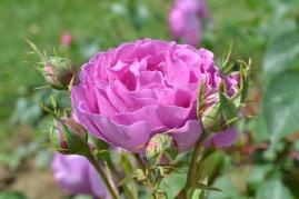 roses de bagatelle