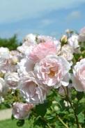 Rose Bagatelle
