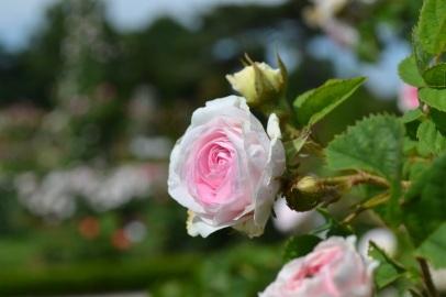 rose de bagatelle
