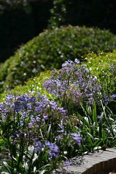 agapanthe-jardins-etretat