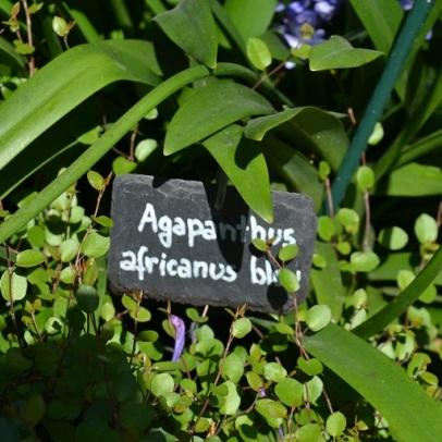etiquette-africanus-blue