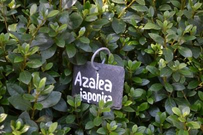 etiquette-azalee