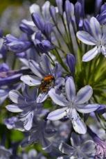 insecte-sur-agapanthe