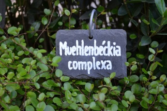 muehlenbecka