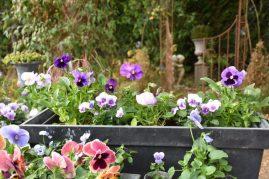 jardinière de pensées violettes