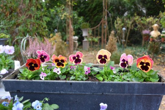 jardinières et pensées roses