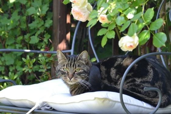 chat dans les rosiers