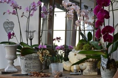 orchidée à rempoter