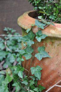 lierre sur pot en terre