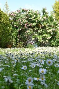 pelouse de marguerite
