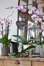 orchidée hors du pot