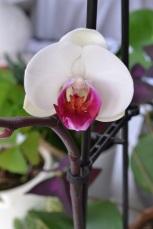 orchidée pourpre et blanche
