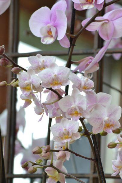 Orchidée botanique