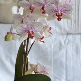 orchidee-pointille