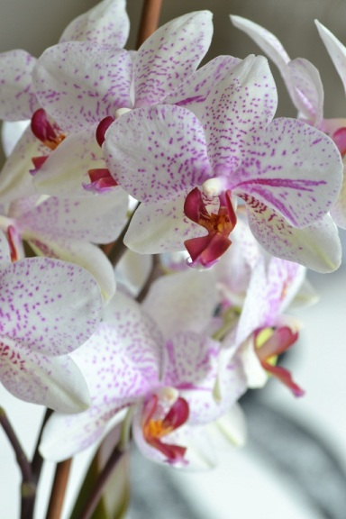 orchidee-pointillee
