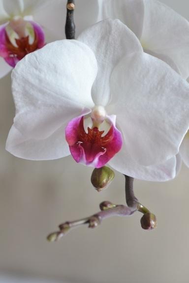 orchidée coeur pourpre