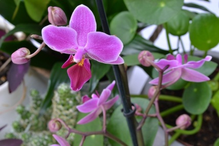 orchidee-pourpre