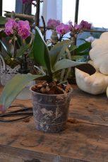 orchidée remptée