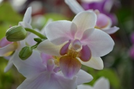 orchidee-rose-pale-blanche