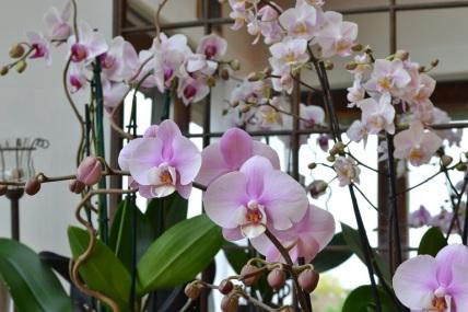orchidees-melangees