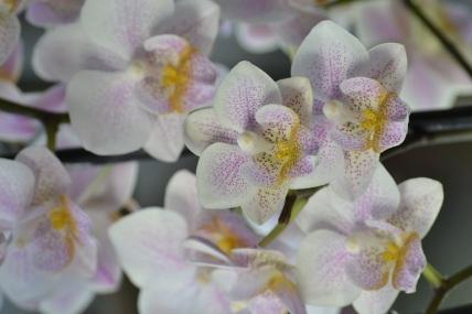 orchids (62)