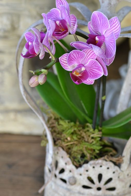orchidée strillée