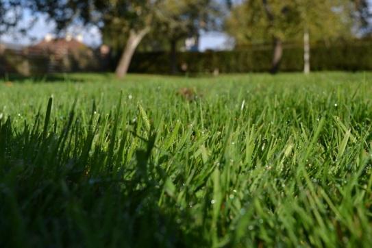 pelouse matinale