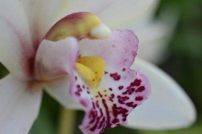 Coeur d'orchidée de profil