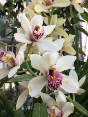 Hampe florale de cymbidium