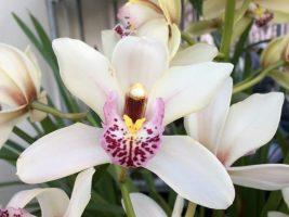 Fleur de cymbidium