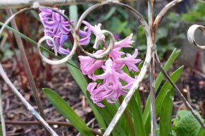 Jacinthes roses et violine jardin
