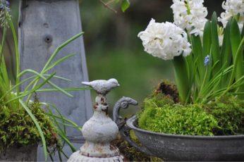 Jacinthes oiseau